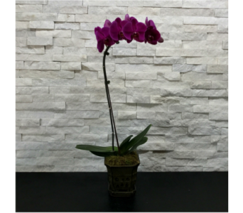 Phalaenopsis Orchid Plant in Ft. Collins CO, Palmer Flowers