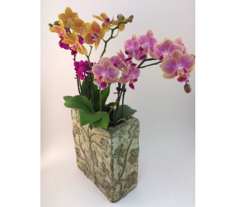 Mini Orchid Trio in Toronto ON, Simply Flowers
