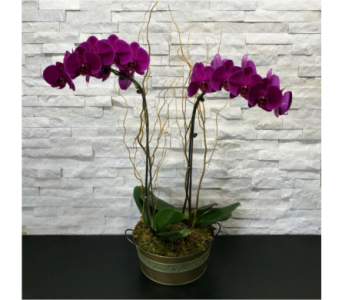 Graceful Orchids in Ft. Collins CO, Palmer Flowers