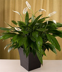 6 inch Peace Lily in Perrysburg & Toledo OH - Ann Arbor MI OH, Ken's Flower Shops