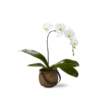The FTD� White Phalaenopsis Orchid in Fort Pierce FL, Giordano's Floral Creations