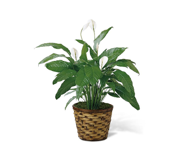 The FTD� Spathiphyllum in Fort Pierce FL, Giordano's Floral Creations