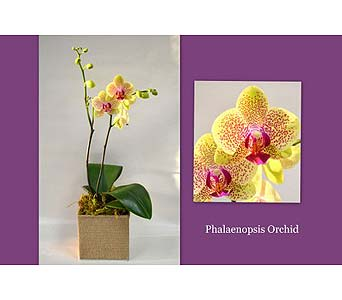 Phaleonopsis Orchid in Albuquerque NM, Silver Springs Floral & Gift