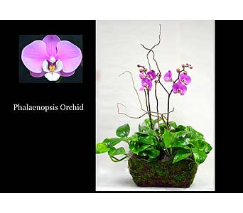 Phaleonopsis Planter in Albuquerque NM, Silver Springs Floral & Gift