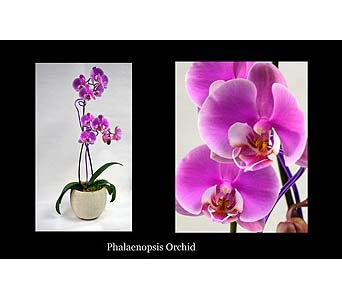 Orchid Collage in Albuquerque NM, Silver Springs Floral & Gift