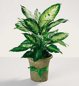 Green House Plant in Charleston SC, Tiger Lily Florist Inc.
