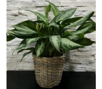 Chinese Evergreen Plant in Ft. Collins CO, Palmer Flowers