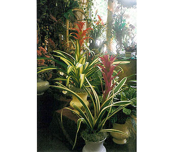 Bromeliad in The Woodlands TX, Botanical Flowers and Gifts