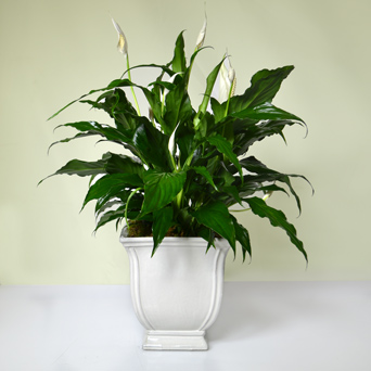 Peacekeeper -  Standard Peace Lily in Dallas TX, Dr Delphinium Designs & Events