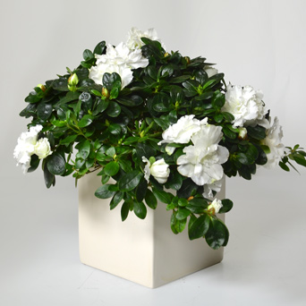 Moonlight - A White Azalea in Dallas TX, Dr Delphinium Designs & Events