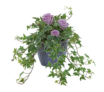 Ivy Plant with Fresh Roses in Vinton VA, Creative Occasions Florals & Fine Gifts