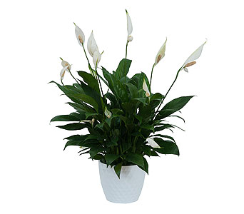 Peace Lily Plant in White Ceramic Container in Sarasota FL, Flowers By Fudgie On Siesta Key