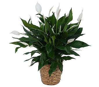 Peace Lily Plant in Basket in Greenwood Village CO, Arapahoe Floral