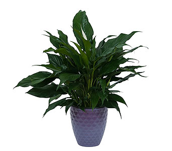 Peace Lily Plant in Ceramic Container in Williamsburg VA, Schmidt's Flowers & Accessories