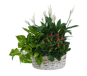 Living Garden Plant Basket in South Hadley MA, Carey's Flowers, Inc.