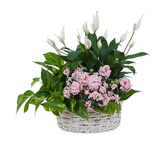 Living Blooming White Garden Basket in South Hadley MA, Carey's Flowers, Inc.