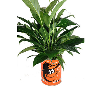 Orioles Peace Lily in Baltimore MD, Raimondi's Flowers & Fruit Baskets