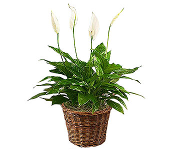 Spathiphyllum (Peace Lily) Plant