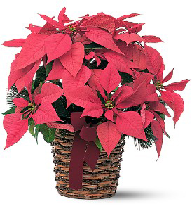 Small Red Poinsettia