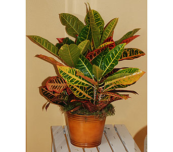 Autumn Croton in Hales Corners WI, Barb's Green House Florist