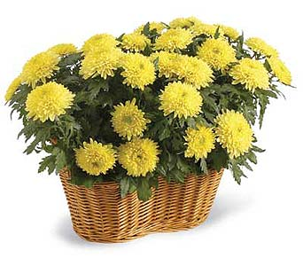 Double Mum Basket in Madison WI, Felly's Flowers