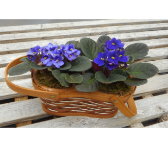 African Violet Double Bloomer in Skowhegan ME, Boynton's Greenhouses, Inc.