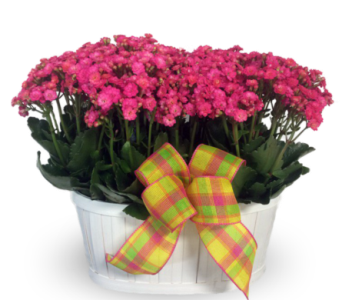 Double Kalanchoe Basket in Indianapolis IN, McNamara Florist