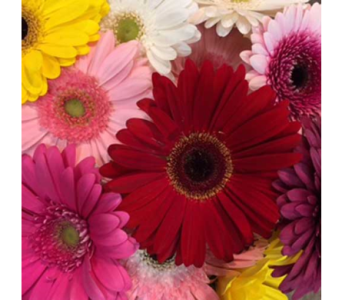Gorgeous Gerberas!  in Ajax ON, Reed's Florist Ltd