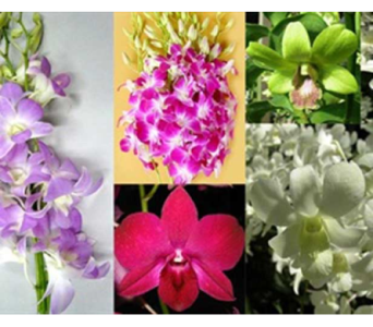 Daring Dendrobium Orchids! in Ajax ON, Reed's Florist Ltd