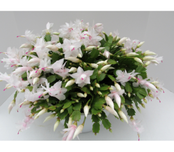 White Christmas Cactus in Traverse City MI, Teboe Florist