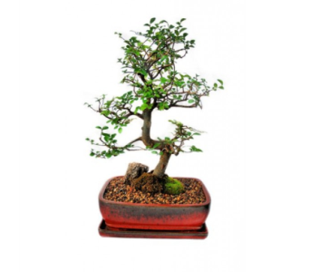 Bonsai Chinese Elm Extra Large 10