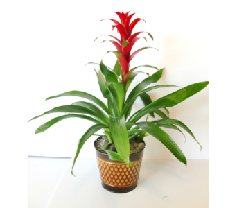 Bromeliad in decorative container in Nashville TN, Flowers By Louis Hody