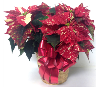 Jingle Bell Two-Tone Poinsettia in Wyoming MI, Wyoming Stuyvesant Floral