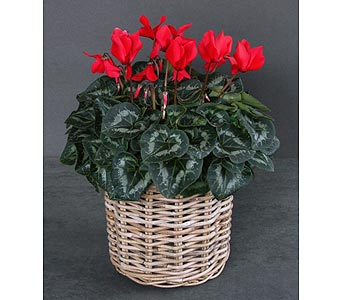 Red Cyclamens in Needham MA, Needham Florist