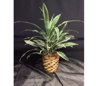 Dracaena / Green Plant in Oakland CA, J. Miller Flowers and Gifts