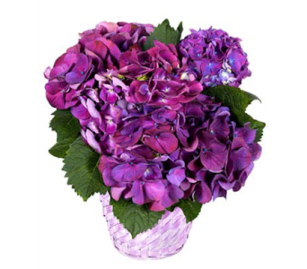 Arkansas Grown Potted Hydrangea in Little Rock AR, Tipton & Hurst, Inc.