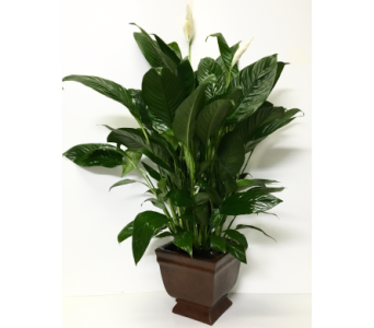 Noble Heritage Peace Lily in Wyoming MI, Wyoming Stuyvesant Floral