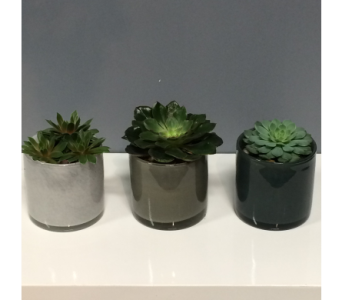 Succulent Trio in Thornhill ON, Orchid Florist