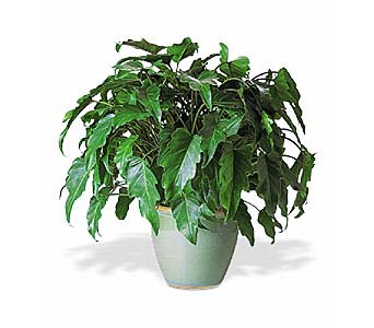 Xanadu Philodendron by 1-800-balloons
