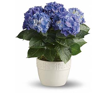 Happy Hydrangea - Blue in 1-800 Balloons NV, 1-800 Balloons