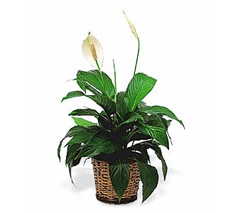 Simply Elegant Spathiphyllum - in 1-800 Balloons NV, 1-800 Balloons