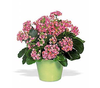 Pink Kalanchoe by 1-800-balloons