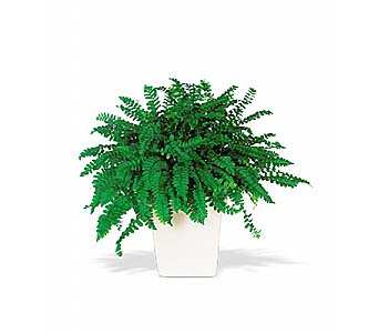 Decorative Fern by 1-800-balloons