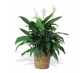 Large Spathiphyllum Plant by 1-800-balloons