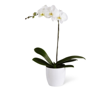 Orchid in Pot in Princeton, Plainsboro, & Trenton NJ, Monday Morning Flower and Balloon Co.