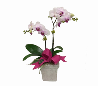 miniature Double Orchid in Eugene OR, The Shamrock Flowers & Gifts