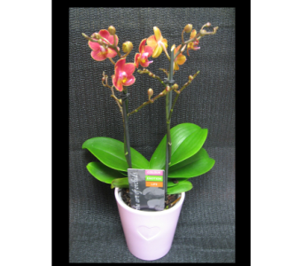 5 Phalaenopsis Multi in Guelph ON, Patti's Flower Boutique