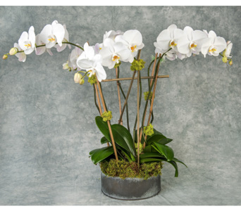 Deluxe White Phalaenopsis   in Great Neck NY, United Floral