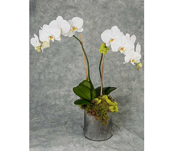 Double-Stemmed White Phalaenopsis in Great Neck NY, United Floral