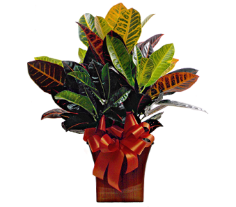 Fussy Croton in Indianapolis IN, Steve's Flowers & Gifts